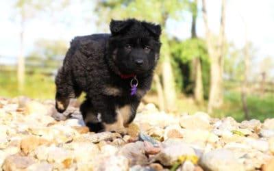 Priya rejoint notre élevage d'Altdeutsche Schäferhunde
