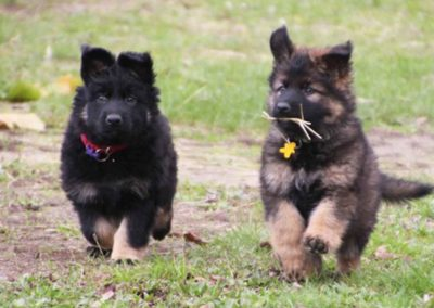 priya_comme_chiens_et_loups_7_semaines
